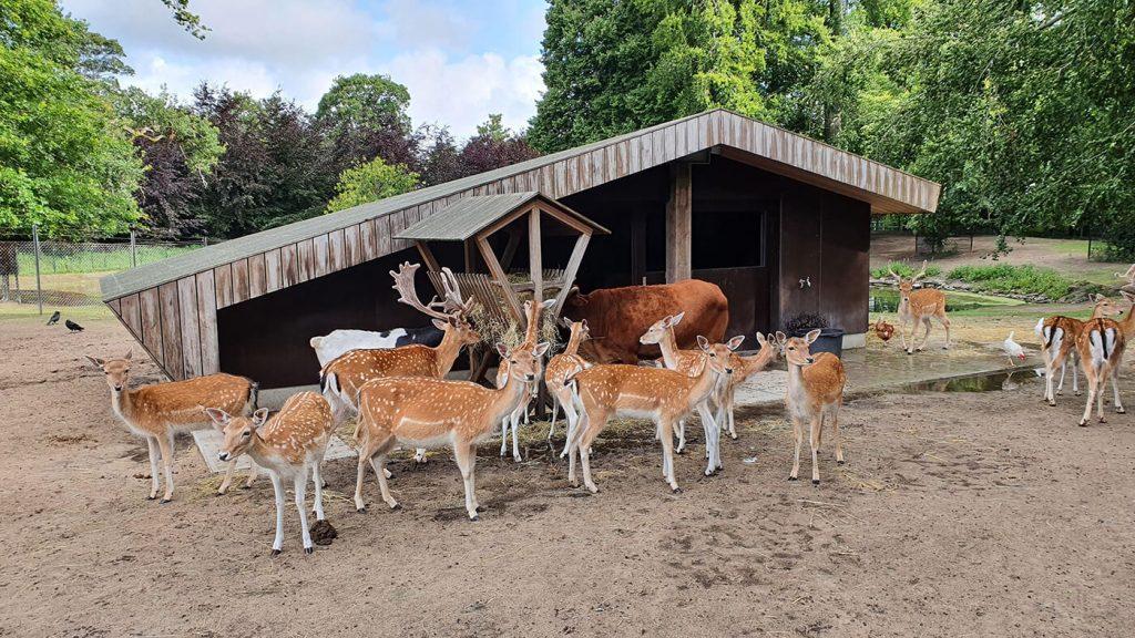 Herten bij de hertenstal in het Hertenkamp Bloemendaal