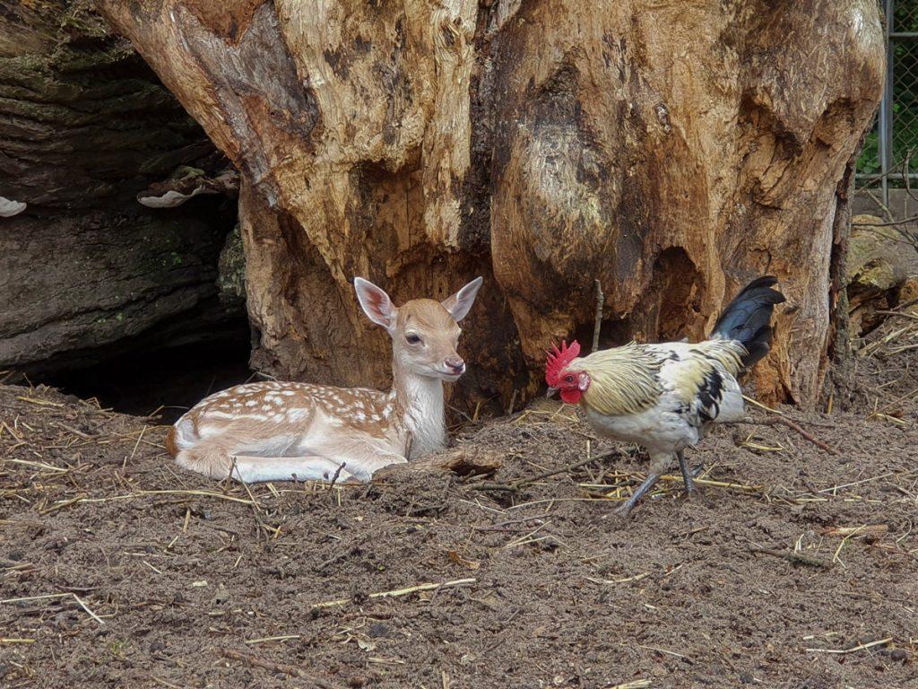 Hertenjong ontspant samen met een kip in het Hertenkamp Bloemendaal