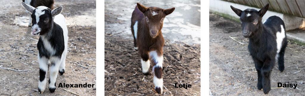 Drie geboren geitjes januari 2021 Hertenkamp Bloemendaal