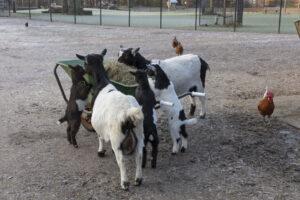Maxima knabbelt samen met haar oudste dochter Stientje en haar drieling lekker aan het hooi in de kruiwagen.